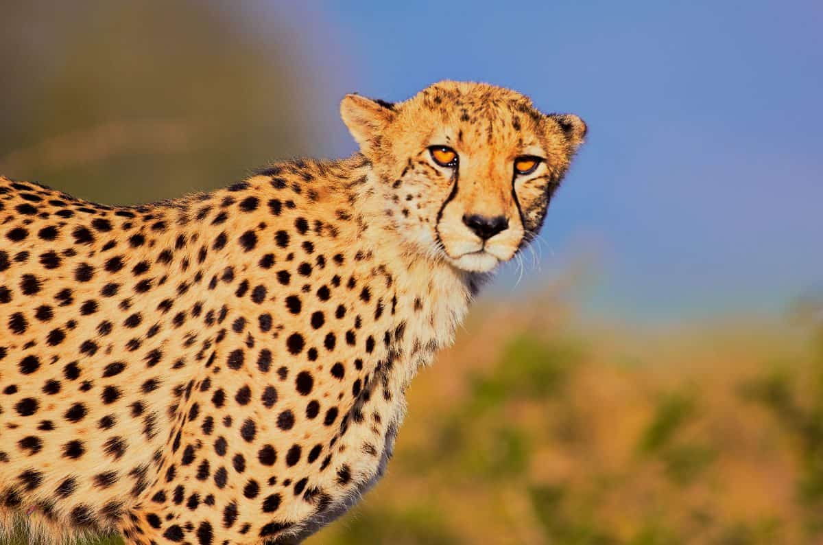 The Dignity Cheetah