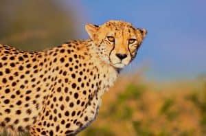 The Dignity Cheetah