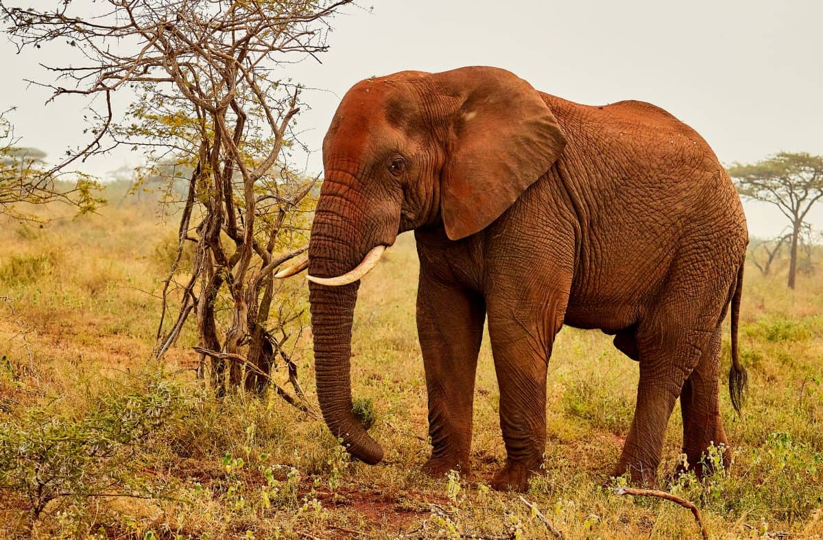 Peaceful African elephant