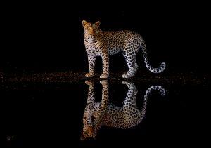 an elegant photograph of an African leopard