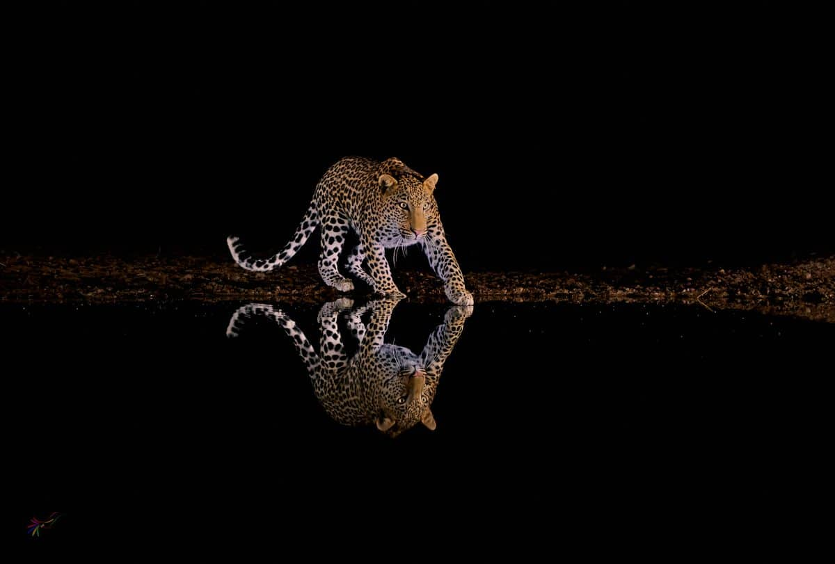 African leopard photograph