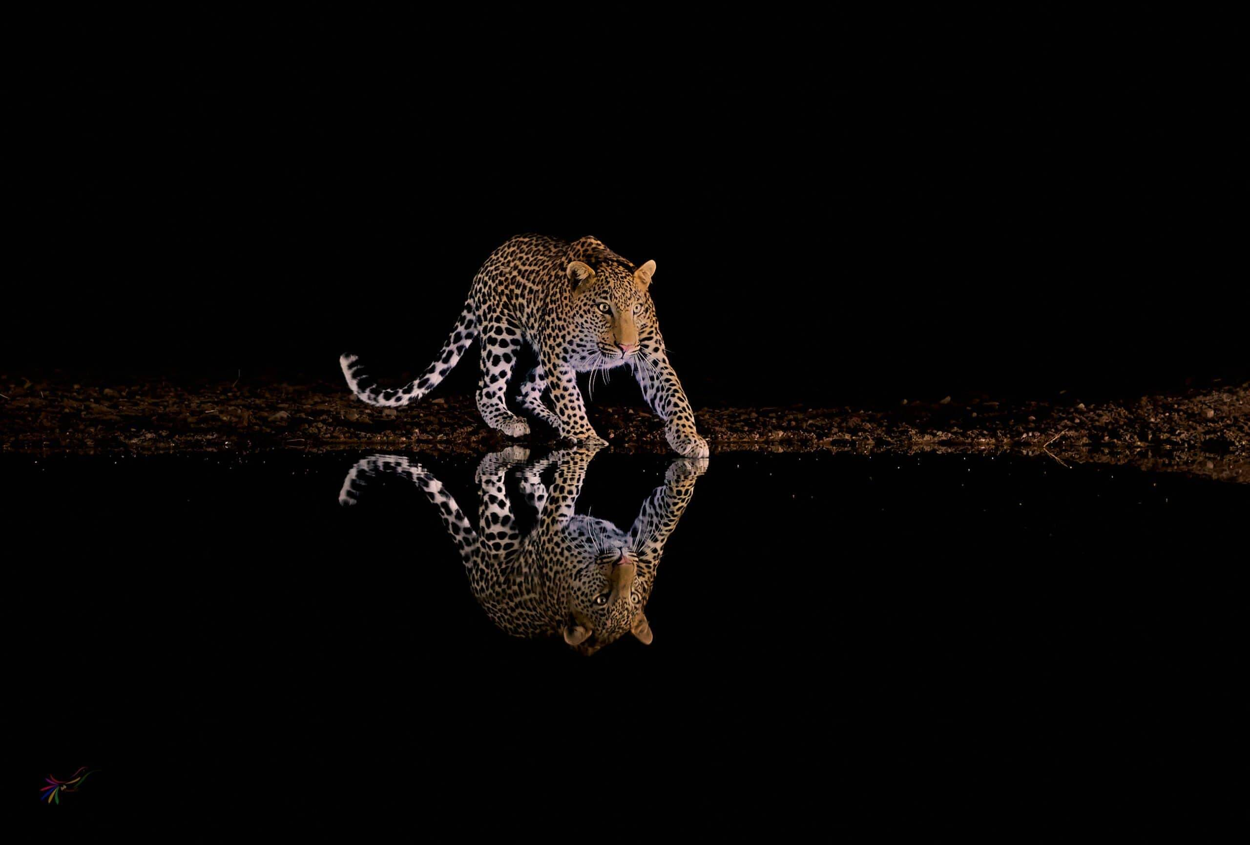 African leopard photograph