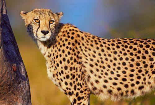The view Cheetah