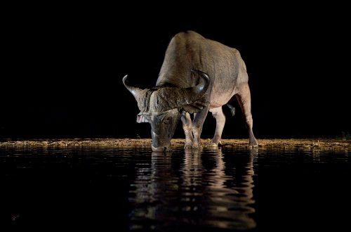 African Cape buffalo