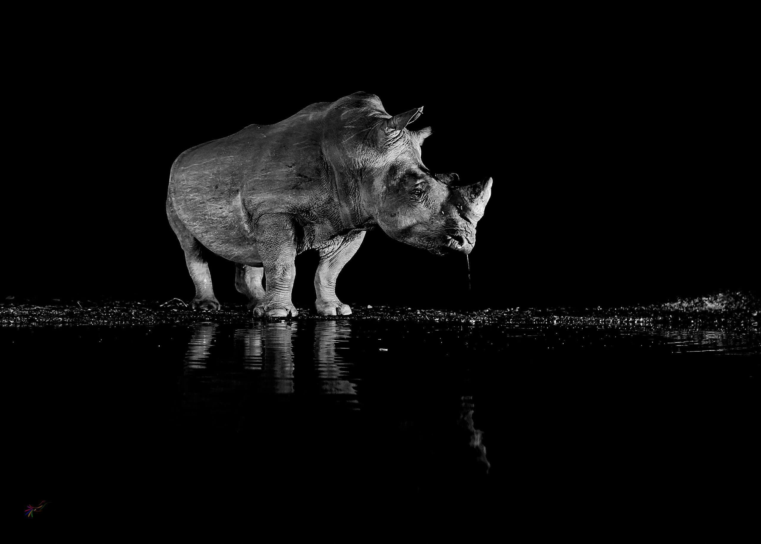 solitary is a black and white image of a white rhino