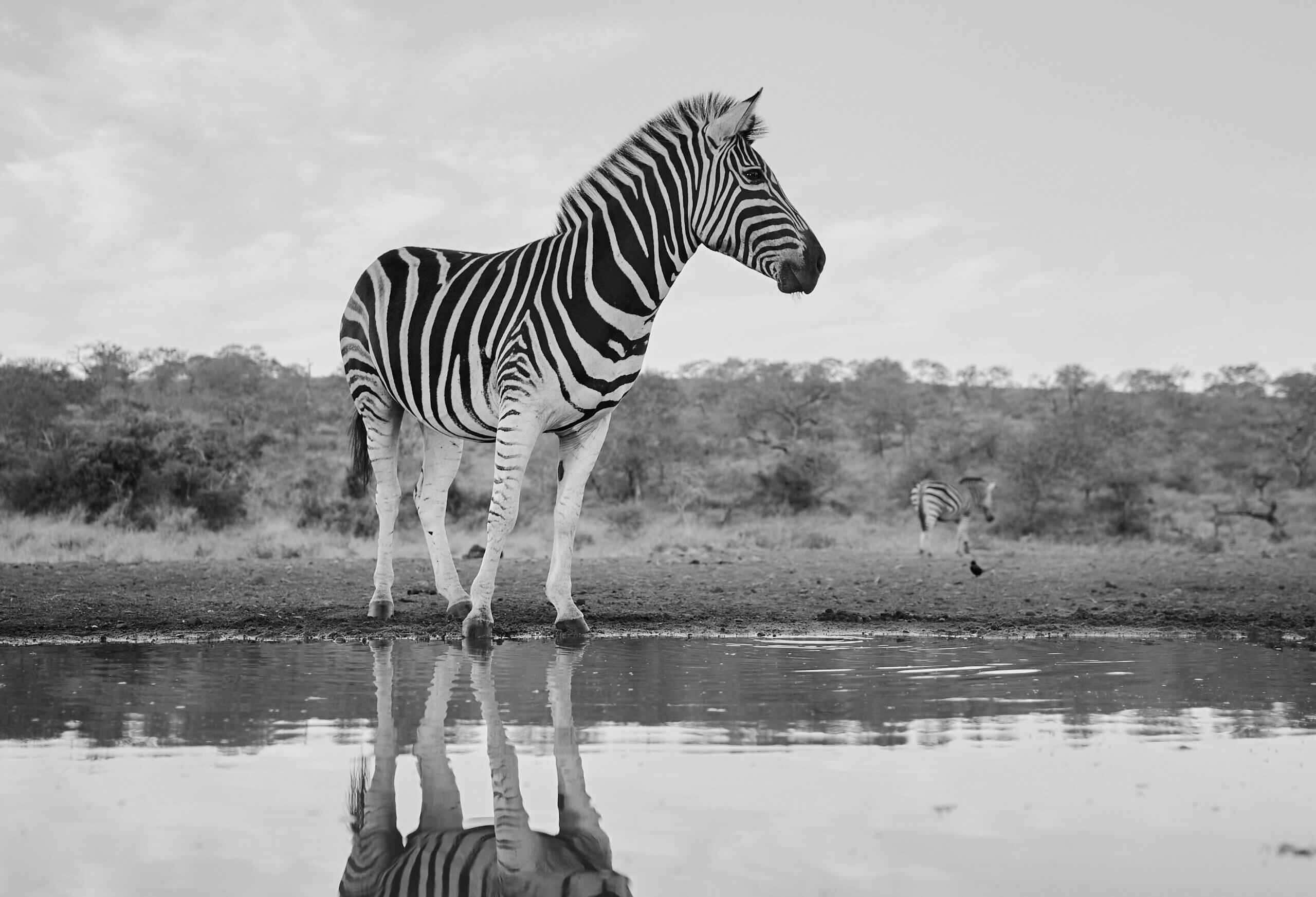 Zebra Puzzled