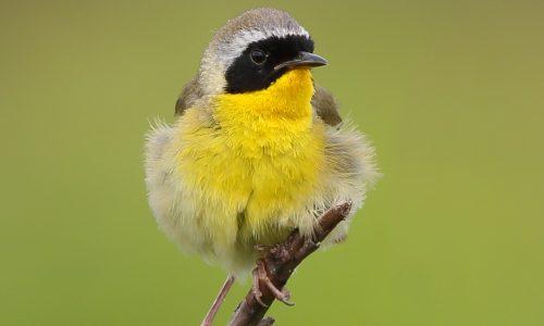 c18u0908-id13c1-common-yellowthroat